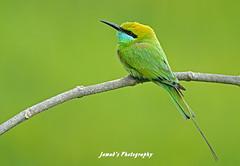 Little Green Bee Eater (Jawad_Ahmad) Tags: pakistan green nature beautiful photography little wildlife bee eater naturelover sialkot wildbird jawads