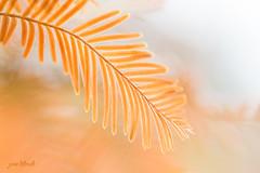 Dawn Redwood (Jane Dibnah Botanical Art) Tags: autumn light colour macro tree leaves closeup change selectivefocus dawnredwood landscapeformat arleyarboretum