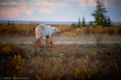 (GrajewskiFoto) Tags: bear wild canada tourism expedition north manitoba churchill polar nanuk