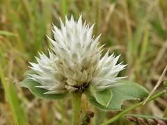 Gomphrena serrata L. (carlos mancilla) Tags: flowers flores madroño amorseco olympussp570uz amordesoltero gomphrenaserratal