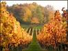 Bunt bunt bunt (almresi1) Tags: autumn lines germany landscape herbst vineyards wald bunt weinberg beutelsbach reihen remstal weinstadt