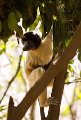 LEMUR-PARK-59 (RAFFI YOUREDJIAN PHOTOGRAPHY) Tags: park city travel trees plants baby white cute green animal fauna canon river jumping sweet turtle wildlife bricks mother adorable adventure explore lemur 5d lemurs bushes madagascar 70200 antananarivo mkiii