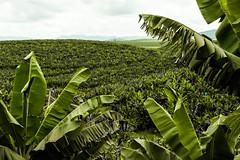 Bananal (Felipe Valim Fotografia) Tags: foto vale viagem ribeira valedoribeira ilhacomprida cavernadodiabo cajati caneneia