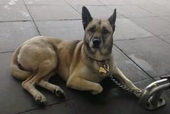 Dog outside Sainsbury's (Moldovia) Tags: dog pet animal canine phonecamera htc htconex