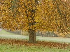 _B016458 Golden Tree (idunavision) Tags: leica morning autumn trees light fall mamiya nature water colors zeiss reflections germany pond rocks wasser herbst natur olympus nrw teich bäume beech farben felsen detmold buchen spiegelungen morgenlicht ostwestfalenlippe hornbadmeinberg externstine