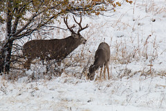 Mule Deer buck panting after the workout
