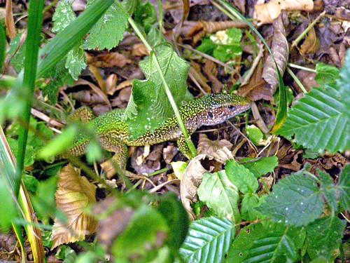 Lizard hiding.