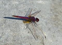 Purpleblush Darter/ Violet Dropwing -----Trithemis annulata (creaturesnapper) Tags: dubai dragonflies odonata safapark violetdropwing trithemisannulata purpleblushdarter