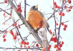 American robin at Lime Springs IA 854A8363 (lreis_naturalist) Tags: american robin lime springs howard county iowa larry reis