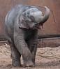 asiatic elephant Sanuk artis JN6A0604 (j.a.kok) Tags: olifant elephant elephasmaximus aziatischeolifant asiaticelephant sanuk herbifor azie asia mammal zoogdier