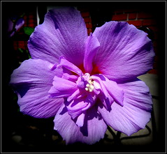 Natural Wonder (dimaruss34) Tags: newyork brooklyn dmitriyfomenko image flower hibiscus