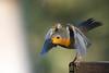 Sous vos applaudissements !! (Jacques GUILLE) Tags: 09 ariège domainedesoiseaux erithacusrubecula europeanrobin mazères muscicapidés passériformes rougegorgefamilier bird oiseau