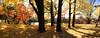 Golden Woods (JapanDave) Tags: ginkgobiloba autumn panorama momiji yellow autumnleaves acerpalmatum fall japanesemaple nature イチョウ 秋 紅葉 銀杏 黄色 okazakishi aichiken japan jp