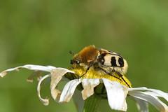 _DSC4758 Penseelkever / Bee Beetle (Gert_Paassen) Tags: buiten outdoor macro 105mm nikon niederlande deutschland germay netherlands eifel nettersheim bee beetle pensel kever penseelkever bloem margriet insect d750 nederland ngc npc