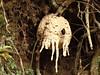 Strange Nest. Taken in Monte de la Cruz, Heredia, Costa Rica, 2015 (Catagreena) Tags: wasps nests rainforest heredia costarica