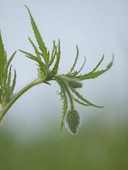 Tant de douceurs à venir * (Titole) Tags: buds poppy titole nicolefaton green