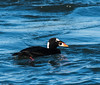 Male Surf Scoter (b88harris) Tags: male surf scoter duck black orange red white ocean park nature wildlife nikon sunlight sunshine nikkor lens exposure hiking