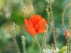 Eichkogel-Naturschutzgebiet Mödling Niederösterreich (arjuna_zbycho) Tags: eichkogel eichkogelnaturschutzgebiet mödling wandern berggipfel hügel niederösterreich naturschutz wienerwald trockenrasengebiet blumen kwiaty flower mak maki makpolny czerwonemaki kwiatypolne mohn mohnblumen coquelicots pavots popyflower popy klatschmohn papaverrhoeas mohnblume klatschrose cornpoppy cornrose fieldpoppy flanderspoppy redpoppy redweed közönségespipacs vetésipipacs papaverocomune rosolaccio gatunekleczniczy heilpflanze hausmittel kwiat blume fleur popies fleurs natur flora