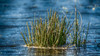 Insel aus Gras - Island of grass (ralfkai41) Tags: grass pflanzen plants gras island nature outdoor gefroren insel natur frozen