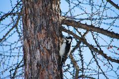 Hairy Woodpecker (darinrashleigh) Tags: forest outdoors nature hairy woodpecker bird