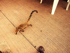 baby coatí (Bambola 2012) Tags: southamerica južnaamerika argentina misiones iguazu iguazufalls nasuanasua baby cucciolo beba mladunče tail rep coda animal animale životinja wild selvatico divlja