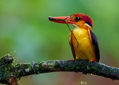 Oriental Dwarf Kingfisher (pinakin2in) Tags: colorful canon orientaldwarfkingfisher odkf kingfisher india beautifulbird canongear