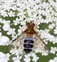 Leucozona glaucia (9) (saracenovero) Tags: leucozonaglaucia syrphidae diptera flies fliesoflithuania mazeikiai 2016