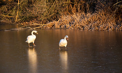 Slippery Ice (cuppyuppycake) Tags: swan slippery ice wanstead park winter hanuary reflection outdoor freezing chilly cold pair bird animal nature wildlife