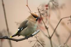 Le sympa (Franck Sebert) Tags: jaseur boréal bombycilla garrulus bohemian waxwing pestvogel bird oiseau europe wild wildlife 5d mark iii ef400mm f28 ef14x belgique fevrier 2017