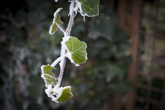 snowy ivy (PKub) Tags: efeu flora green gruen ivy natur nature photography pkub pkubimagesgmailcom pkubimages schnee wetter weather weiss white frostig frosty plants snow