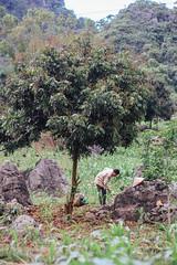Man Farming under Tree, Sơn La Vietnam (AdamCohn) Tags: adamcohn sơnla vietnam conitcalhat farm farmer farming labor man nonla nónlá tree work wwwadamcohncom thànhphốsơnla
