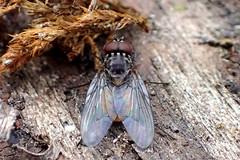 House Fly Phaonia subventa male (Bugldy99) Tags: diptera animal arthropod arthropoda hexapod hexapoda insect insecta fly