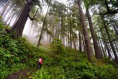 Big trees on the Elk Flats Trail, Oswald State Park, Oregon (eikonologos.images) Tags: rainforest green wet trees trail nikkor20mmf4ai nikondf oswaldstatepark oregoncoast oregon