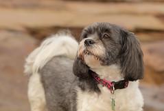 Ellie (Ellieslion) Tags: ellieslion lhasaapso seatonsluice sea dogs