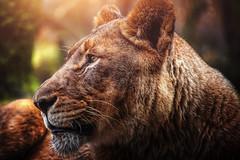 neulich im Zoo (Chrisnaton) Tags: lion animal portrait zoobasel