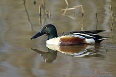 Northern Shoveler, Blackwater National Wildlife Refuge, Cambridge, MD (Janaswamy) Tags: shoveler