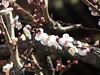 Yushima Tenjin Shrine (walking.biking.japan) Tags: shrine plumblossoms flowers