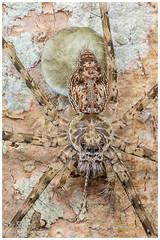 Huntsman Spider / Araña Cangrejo Gigante (?) (Panama Birds & Wildlife Photos) Tags: arachnid arácnido arachnida araña spider huntsmanspider arañas macro