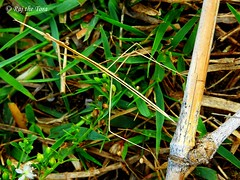 Stick and Bamboo (Raj the Tora) Tags: stickinsect stick walkingstick insect insecta stickbug bug insects bugs ghostinsect plantinsect bamboo bamboofrond frond nature wildlife mimic mimicry camouflage camouflaged camouflages