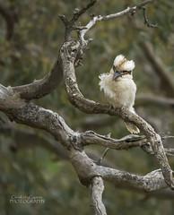 Kookaburra sits in the old gum tree... (ChrisKirbyCapturePhotography) Tags: kookaburra australianbird hunting feathers bird southaustralia