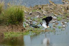 Green Plover & Dunlin (nedjetwave) Tags: nature birds nikon wildlife lapwing vanellusvanellus waders dunlin calidrisalpina swale oare peewit greenplover kentwildlife d7000 tamron150600