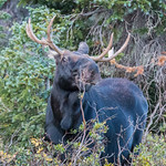 Bull moose getting a snack thumbnail