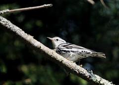 Black and White Warbler (jd.willson) Tags: white black nature birds island bay wildlife birding maine jd warbler penobscot willson islesboro jdwillson