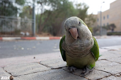 victim of holiday hangover - Monk parakeet, Mnchsittich, Myiopsitta monachus @ Tel-Aviv, Israel 2015 urban nature (Jan Rillich) Tags: urban sun holiday bird nature beautiful beauty animal fauna digital photography eos israel photo telaviv flora foto fotografie image jan wildlife picture streetphotography free parrot sunny wideangle hangover urbannature rosh hashanah animalphotography monkparakeet roshhashanah myiopsittamonachus 15915 holidayhangover mnchsittich cityparrot 150915 janrillich rillich 15092015