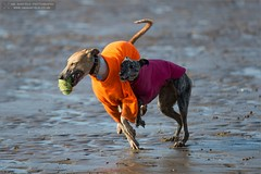 Collision! (Ian Garfield - thanks for over 2 million views!) Tags: sea dog beach dogs ian fun photography seaside sand play time somerset whippet sands garfield whippets collision brean