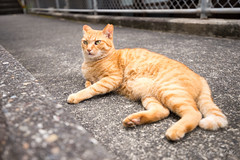 (GenJapan1986) Tags: 2015           japan travel tokyo animal cat nikond610 island mikuraisland