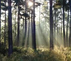 Sunbeams (cocopie) Tags: wood morning mist early rays sunbeams