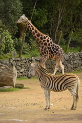 Giraffa camelopardalis DT [NZ Auckland Zoo] (2) (Archivo Murcilago Blanco) Tags: africa fauna auckland mammals mammalia aucklandzoo nuevazelanda ungulates giraf jirafa giraff mamifero artiodactyla giraffidae oceana cetartiodactyla ungulado ungulados tirira diegotirira archivomurcielagoblanco