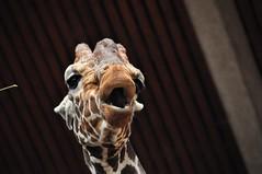 Kölner Zoo (Begüm Tomruk) Tags: deutschland zoo cologne köln giraffe kölner