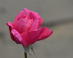 Rose 16 (Dunstan Fernando (on holiday)) Tags: rosa rose srilanka dunstan d7000 nikon nuwaraeliyaflowers nuwaraeliyaroses dunstanphotography simplysuperb natureswonder floraaroundtheworld